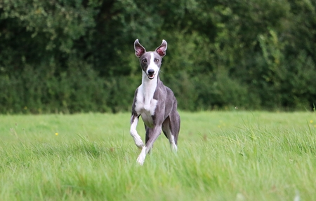 beauiful whippet is running in the park