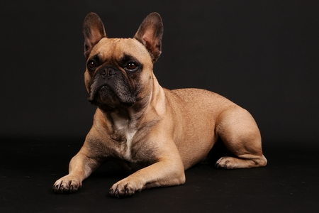 beautiful lying french bulldog portrait in the dark studio Banco de Imagens - 121968979
