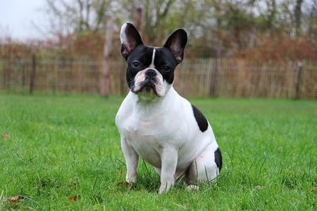beautiful french bulldog is sitting in the garden Banco de Imagens - 121968982