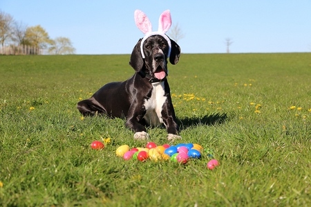 funny black great dane is lying in the garden with funny bunny ears on the head and colorful easter eggs in the front