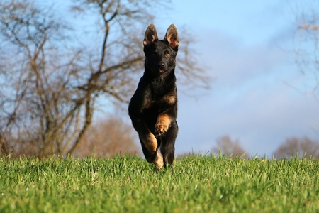 beautiful small black german shepherd is running in the garden on a sunny day Banque d'images