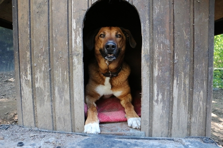 Beautiful brown mixed-race dog is lying in his wooden house in the garden