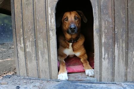 Hermoso perro de raza mixta marrón está acostado en su casa de madera en el jardín Foto de archivo