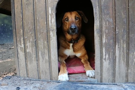 Schöner brauner Mischlingshund liegt in seinem Holzhaus im Garten Standard-Bild