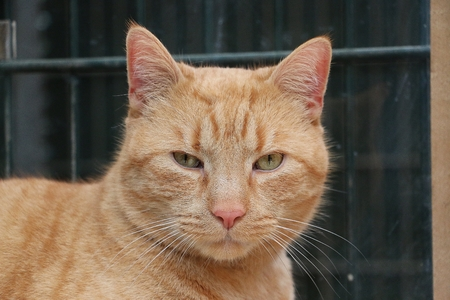 Beautiful red cat head portrait
