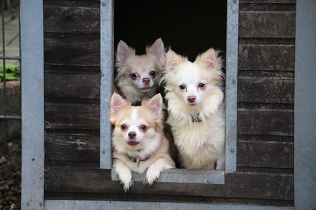 Small Group Chihuahuas Looking Out Wooden House Garden Stock Photo