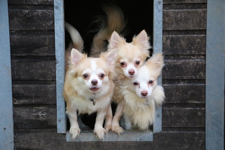 Small Group Chihuahuas Looing Out Wooden House Garden