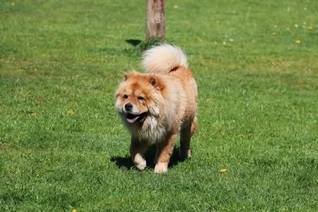 Beautiful chow is walking on a green field