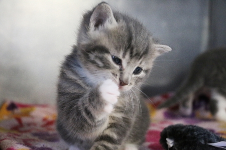 Funny gray kitten is washing the face with the paw
