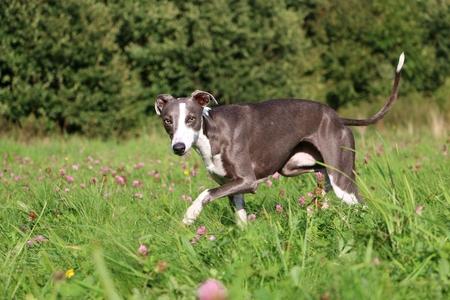 Beautful whippet is walking in a clover field Stock Photo