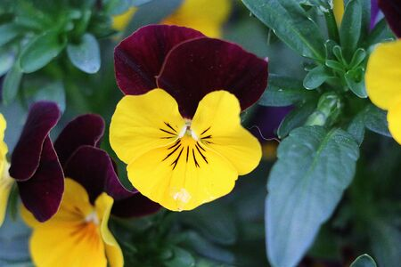 Close up of colorful pansies in the garden Stock Photo
