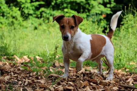 Beautiful small jack russel terrier is standing in the garden