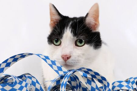 Black and white cat head portrait with bavarian oktoberfest paper streamers in the white studio