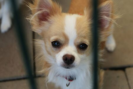 Beautiful small chihuahua is standing in the shelter and waiting for his new humans 写真素材