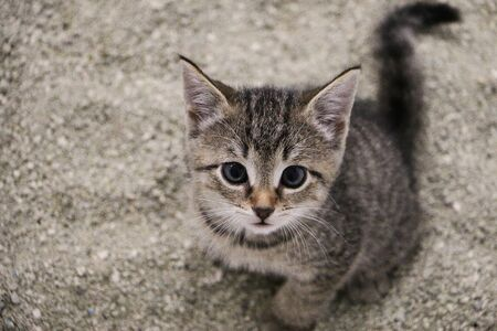 Beautiful small gray kitten is sitting in the sand in the toilet and looking up Standard-Bild