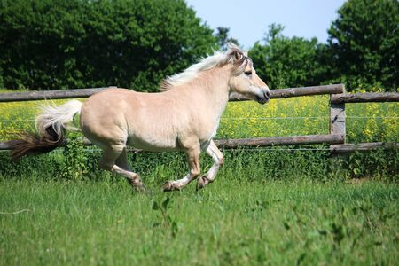 Beautiful fjord horse is running on a paddock in the sunshine Stock Photo
