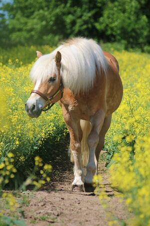 Beautiful Haflinger horse portrait in a rape seed field