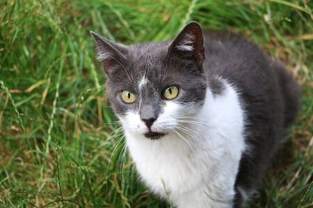 Beautiful gray and white cat is sitting in the garden and looking up to the camera