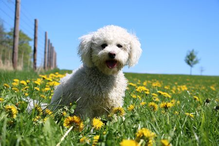 Beautiful white poodle mixed dog is sitting in a field of dandelions in the garden