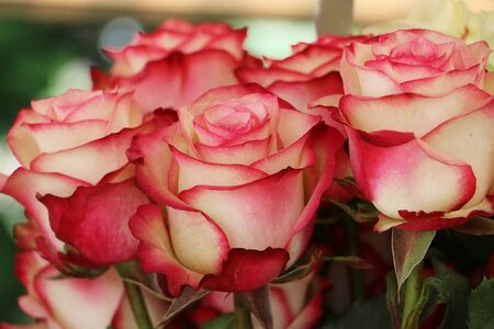 Close up of beautiful colorful roses Stock Photo