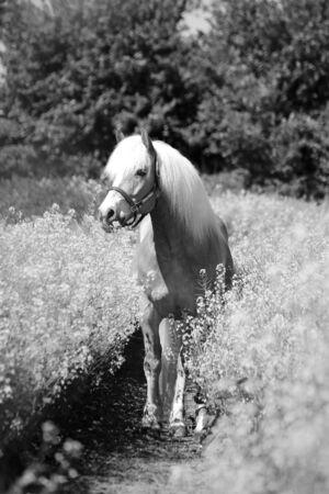 Czarno-biały piękny portret konia rasy Haflinger na polu rzepaku