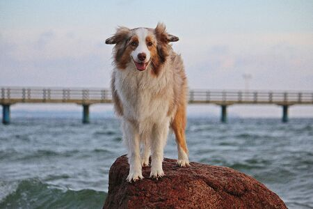 Beautiful Australian shepherd dog is standing on the beach at the beach and looking into the camera