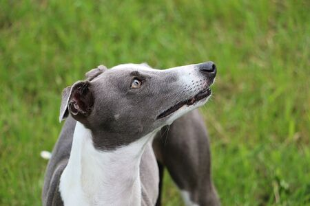 Beautiful whippet is standing in the garden and looking up to the human Stock Photo