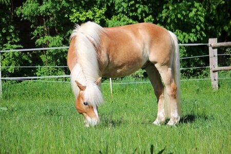 Beautiful haflinger horse is standing on the paddock and eating fresh grass Stock Photo