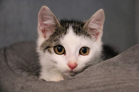 Beautiful small white and gray kitten head portrait in the bed