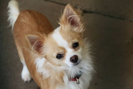 Beautiful chihuahua dog head portrait outdoor Stock Photo