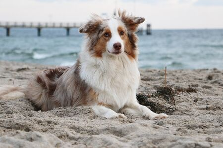 Beautiful red merle australian shepherd portrait at the beach early in the morning