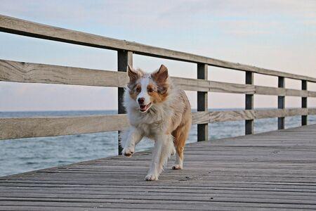 Beautiful red merle Australian shepherd is running on a wooden bridge over the ocean