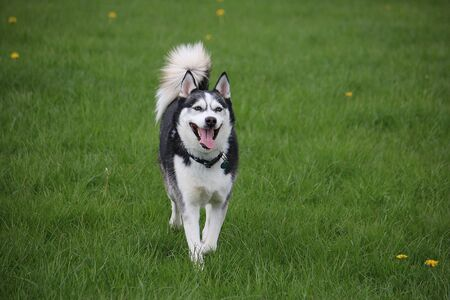 Beautiful mixed husky dog is running in the garden