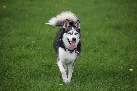 Beautiful mixed husky dog is running in the garden