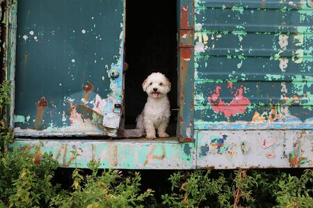 Cute little havanese is sitting in the open door of a colorful trailer