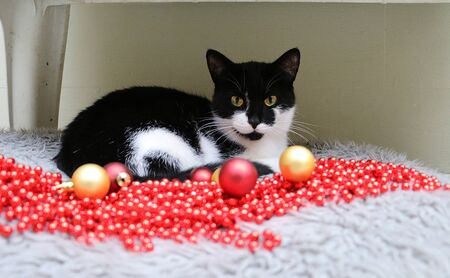 Beautiful black and white cat is lingering in the bed with christmas decoration in the front