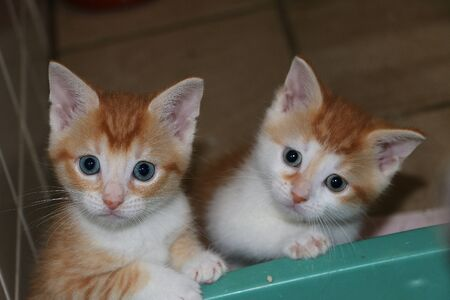 Two small cute red and white kittens are looking up to the camera