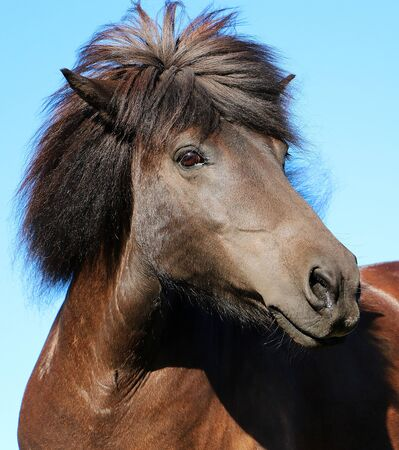 Close up portrait of a brown icelandic horse