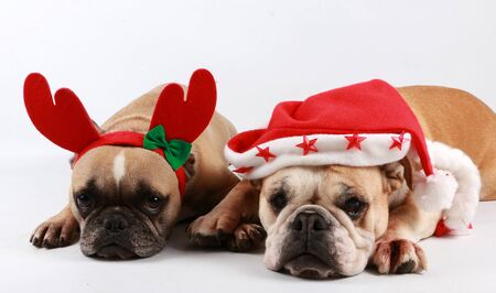 Two funny bulldogs are lying in studio with christmas decoration on the head