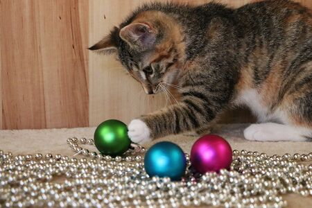 Beautiful tricolored kitten is playing with colorful christmas balls on the floor