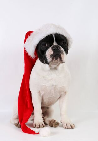 Funny black and white french bulldog is sitting in the white studio and has a santa claus on the head Stok Fotoğraf