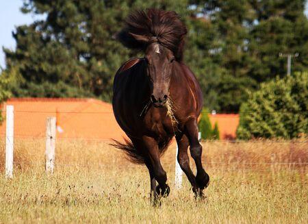 Beautiful dark icelandic horse is running on the paddock