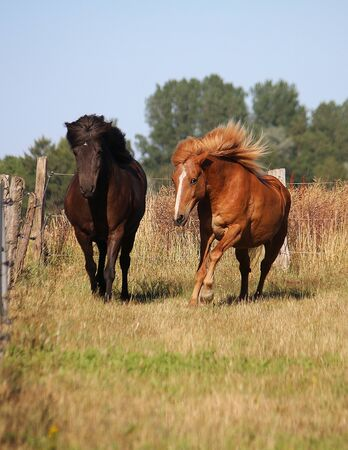 Two different brown icelandic horses are running together on the paddock