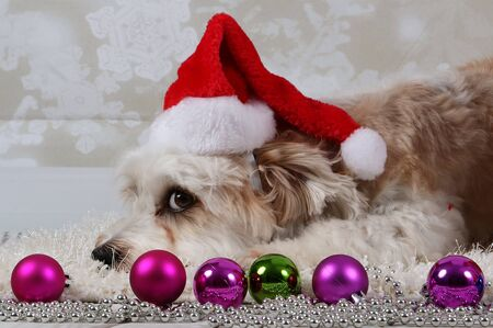Funny havanese dog is lying in the studio with colorful Christmas decoration in the front Stok Fotoğraf