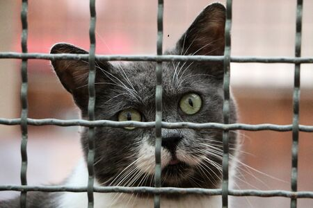 Beautiful gray and white cat head portrait behind the fence