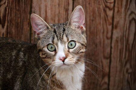 Beatiful cat head portrait in front of a wood background Stok Fotoğraf