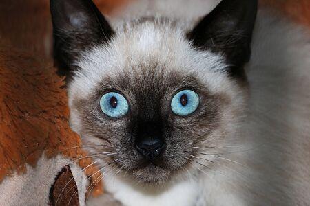 Extreme close up of beautiful blue kitten eyes Stok Fotoğraf