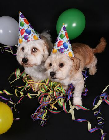 Two small dogs are sitting in the dark studio with party decoration Stok Fotoğraf