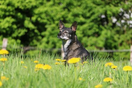 Beautiful little mixed dog is sitting in a field of dandelions