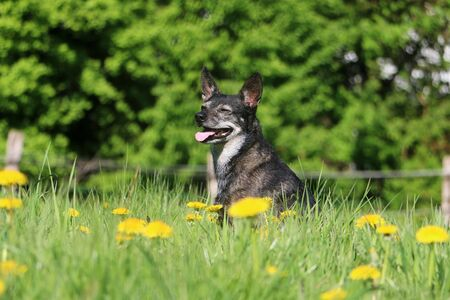 Beautiful little mixed dog is sitting in a field of dandelions 版權商用圖片 - 131958138